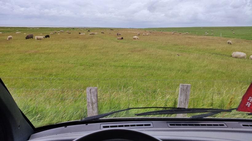 Dänemarks Schafe